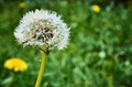 Beautiful dandelion against blurred background a a in the garden of a house Stock Image