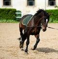 Beautiful dark bay horse Royalty Free Stock Photo