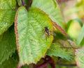 Beautiful dead head hover fly Myathropa florea Royalty Free Stock Photo