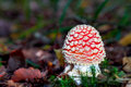 Beautiful but deadly picture of a poisonous fly agaric in a forest in bavaria Royalty Free Stock Photos