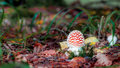 Beautiful but deadly picture of a poisonous fly agaric in a forest in bavaria Royalty Free Stock Images