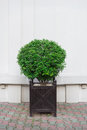 Beautiful decorative shrubsin wooden pot Royalty Free Stock Photo