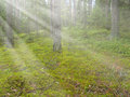 Beautiful deep pine and fir forest green with sun beams Royalty Free Stock Photography