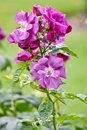 Beautiful rosa rhapsody in blue Royalty Free Stock Photo