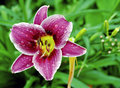 Beautiful Dew Dropped Lily Royalty Free Stock Images