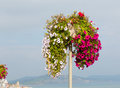 Beautiful display of pink white and red petunias on summer day at the coast Royalty Free Stock Photo