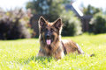 Beautiful dog german shepard outdoors on a field Royalty Free Stock Photo