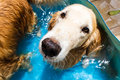 Beautiful dog golden retriever sitting down on the swimming pool and play with old lady Royalty Free Stock Photos
