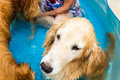 Beautiful dog golden retriever sitting down on the swimming pool and play with old lady Royalty Free Stock Images
