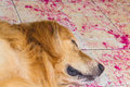 Beautiful dog golden retriever sleep on the ground with flower Stock Images