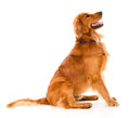 Beautiful dog looking alert Royalty Free Stock Photo