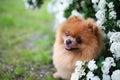 Beautiful dog. Pomeranian dog near blossoming white bush. Pomeranian dog in a park. Adorable dog. Happy dog Royalty Free Stock Photo