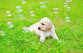 Beautiful dog puppy Labrador Retriever with soap bubbles Royalty Free Stock Photo