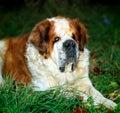 Beautiful dog san bernar_1 animal adorable