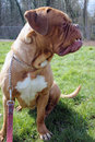 A beautiful dogue de bordeaux sat on grass Stock Photography