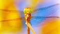 Beautiful dragonfly closeup of on blue yellow background transparent wings tiny insect wild nature Stock Images