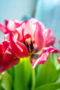 Beautiful dreamy tulips Royalty Free Stock Photo