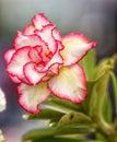 Beautiful dual coloured rose Royalty Free Stock Photo