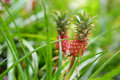 Beautiful dwarf pineapple in natural environment in Tropical Botanical Garden of the Big Island of Hawaii