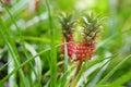 Beautiful Dwarf Pineapple In N...