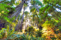 Beautiful early morning in old growth redwood forest peaceful scene pristine the sun is filtering through the tall sequoia tree Royalty Free Stock Photography