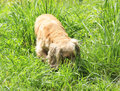 Beautiful english cocker spaniel hunting in green grass Stock Photo