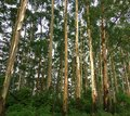 Eucalyptus.Trees.Forest background.Thick forest. Royalty Free Stock Photo