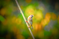 Beautiful Eurasian Sparrow bird Perch Royalty Free Stock Photo