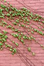 Vertical image of pink brick wall with lush green ivy trailing across the face of it Royalty Free Stock Photo