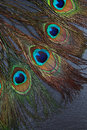 Beautiful exotic peacock feather eyes Royalty Free Stock Photo