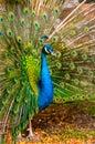 Beautiful exotic peacock
