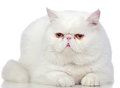 Beautiful exotic short hair cat Royalty Free Stock Photos