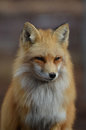Beautiful Face of a Red Fox Royalty Free Stock Photo