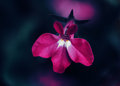 Beautiful fairy dreamy magic pink purple flower on faded blurry background Royalty Free Stock Photo
