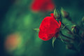 Beautiful fairy dreamy magic red crimson rose flowers on faded blurry green background Royalty Free Stock Photo