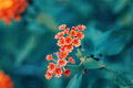 Beautiful fairy dreamy magic red yellow orange flower lantana camara on green blue blurry background Royalty Free Stock Photo