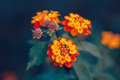Beautiful fairy dreamy magic red yellow orange flower lantana camara on green blue blurry background Royalty Free Stock Photo