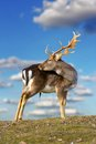 Beautiful fallow deer buck dama dama standing on top of the hill over blue sky background Stock Image