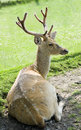Beautiful fallow deer resting Royalty Free Stock Image