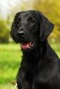 Beautiful Family Dog The Flat-...