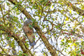 Beautiful female Gang-Gang Cockatoo perching on a tree branch in Royalty Free Stock Photo