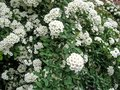 Beautiful festive background of a lot of white florets on the bush of Spiraea Royalty Free Stock Photo