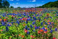 A Beautiful Field Blanketed with the Famous Bright Blue Texas Bluebonnet and Bright Orange Indian Paintbrush