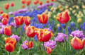 Beautiful field of colorful tulips Royalty Free Stock Photo