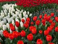 Beautiful field of the flowers in amsterdam netherlands spring is time when bloom Stock Image