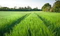 Beautiful field of fresh growth agrucultiral wheat Royalty Free Stock Photos
