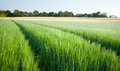 Beautiful field of fresh growth agrucultiral wheat Royalty Free Stock Image