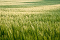 Beautiful field of fresh growth agrucultiral wheat Stock Images