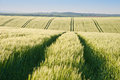 Beautiful field of fresh growth agrucultiral wheat Stock Photography