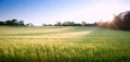 Beautiful field of fresh growth agrucultiral wheat Stock Photo